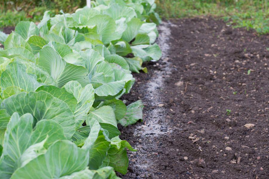 Пепел в междурядьях и вокруг корней капусты защищает её от нашествия слизней, гусениц и крестоцветной блошки