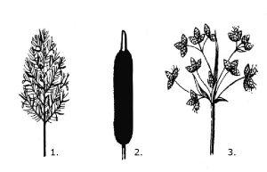 виды рогоза, камыша и тростника