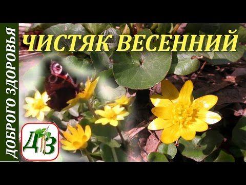 Чистяк весенний