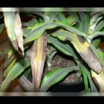 Драцена сохнет: как спасти растение
