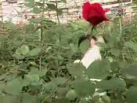 Как вырастить тепличные розы пионы и фиалки