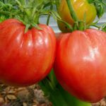 Сибирские сорта томатов