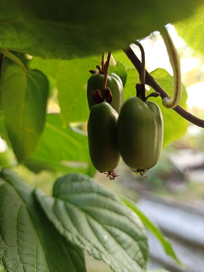 сроки сбора плодов актинидии