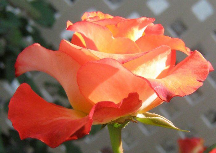 Роза Леонидс