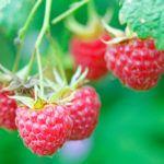 10  правил  для роста урожайности малины