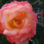 Розы в цвету