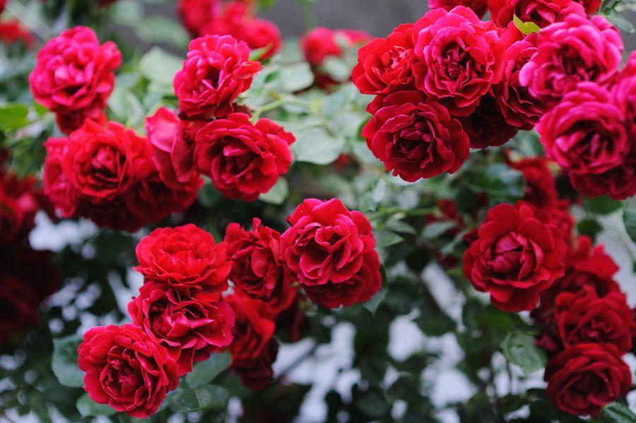 """Плетистая роза """"Симпатия"""": описание, посадка и уход"""