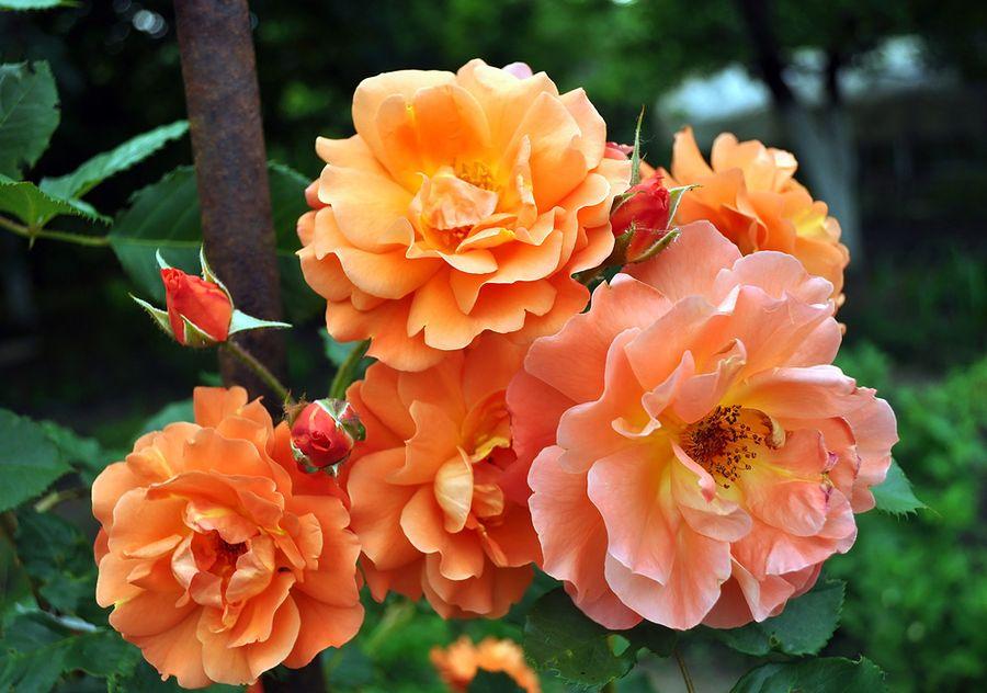 Чайные розы также часто подвержены болезням