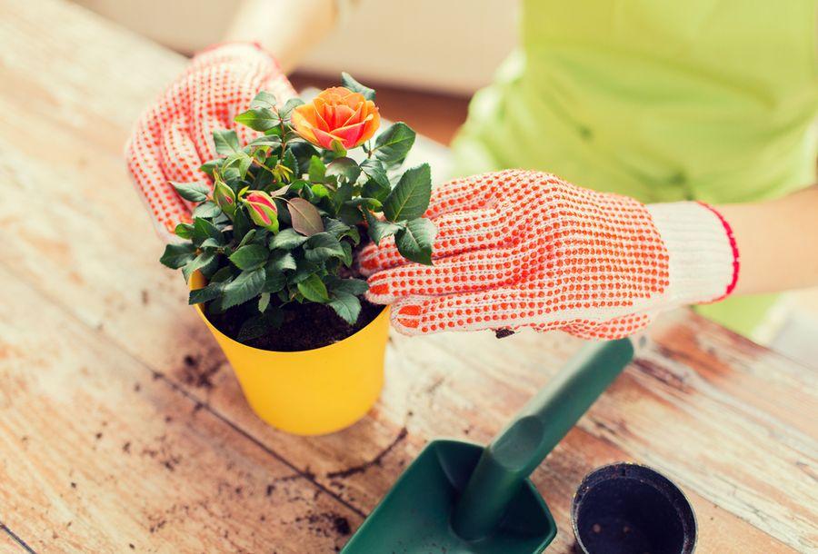 Миниатюрные розы лучше других роз переносят микроклимат жилых комнат