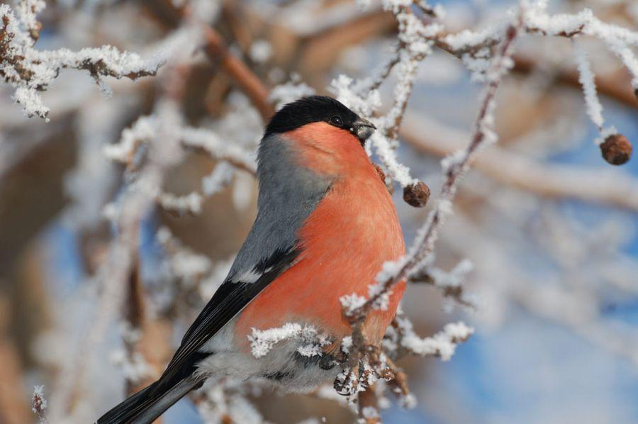 Снегирей и свиристелей на участок привлекут ягоды боярышника, рябины, калины
