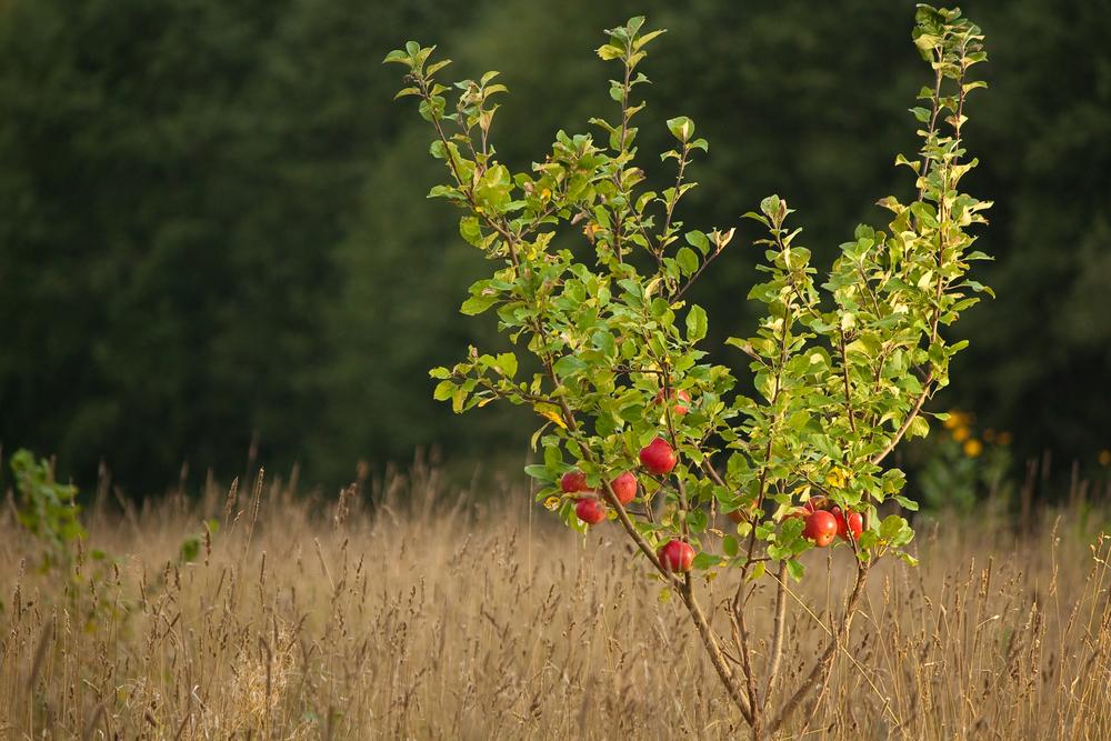 Посадите яблоню на южной стороне участка
