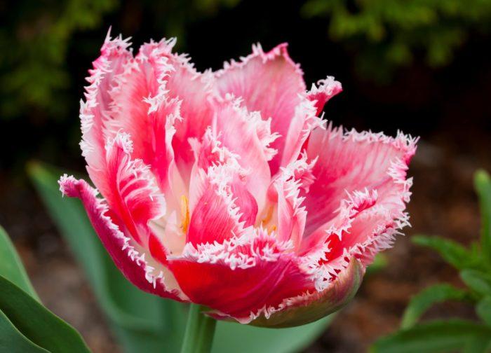 Махровые тюльпаны необычайно красивы