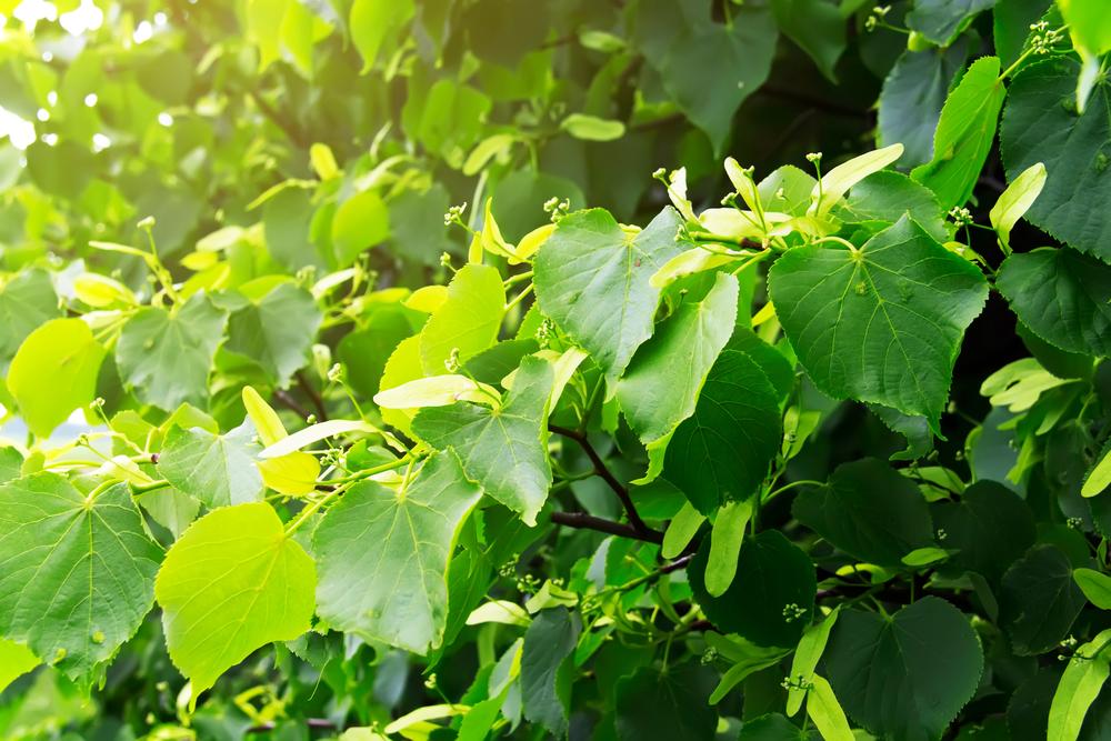 После листопада листва быстро разлагается и обогащает землю полезными веществами.