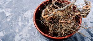 Маралий корень