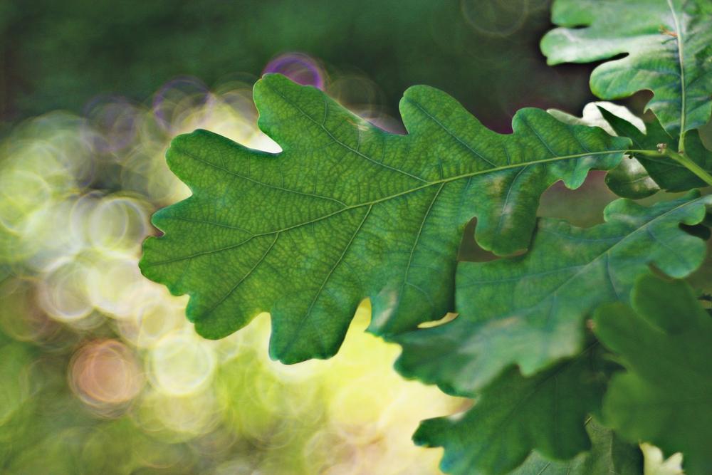У дуба лучше всего заготавливать молодую листву