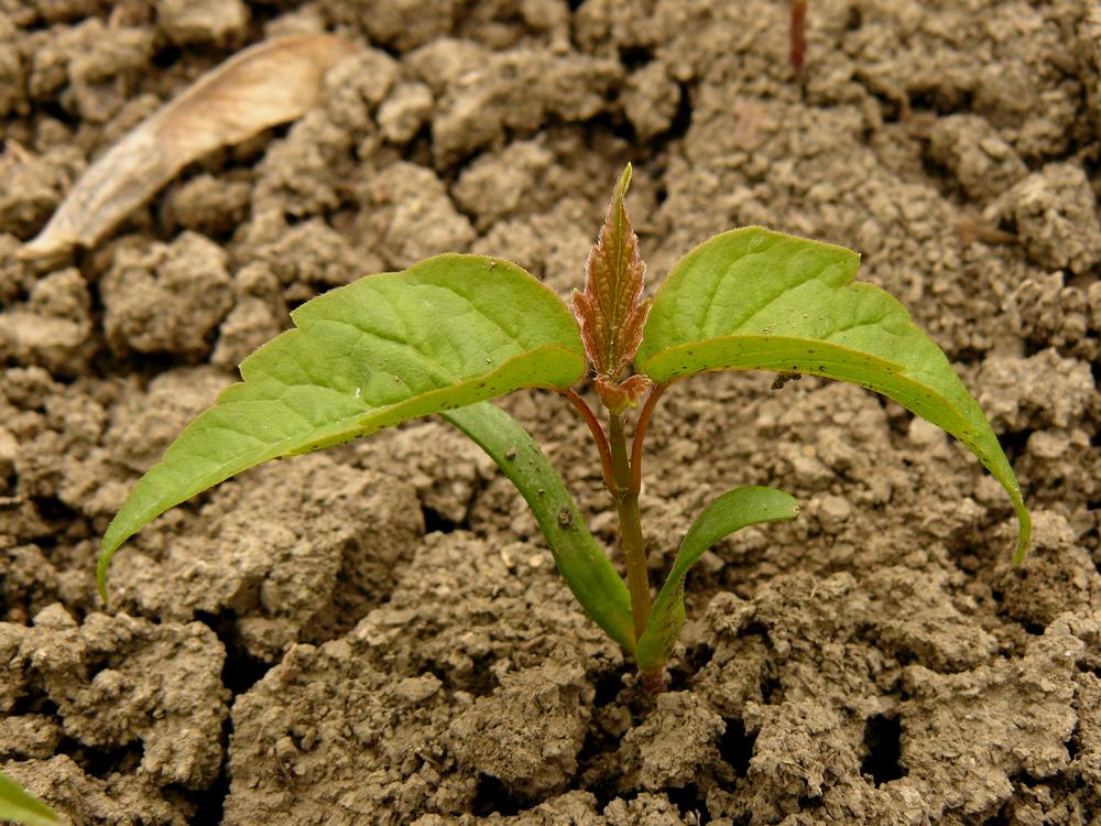 Семена клена хорошо приживаются в почве, многие из них прорастают
