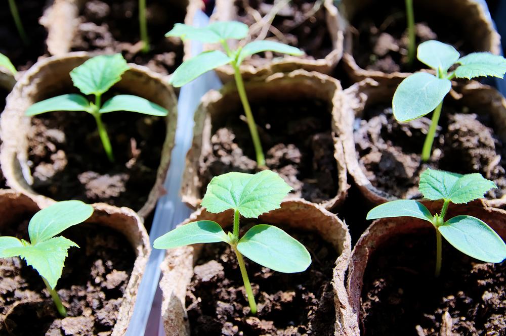 Подкормите йодом рассаду, чтобы она лучше росла