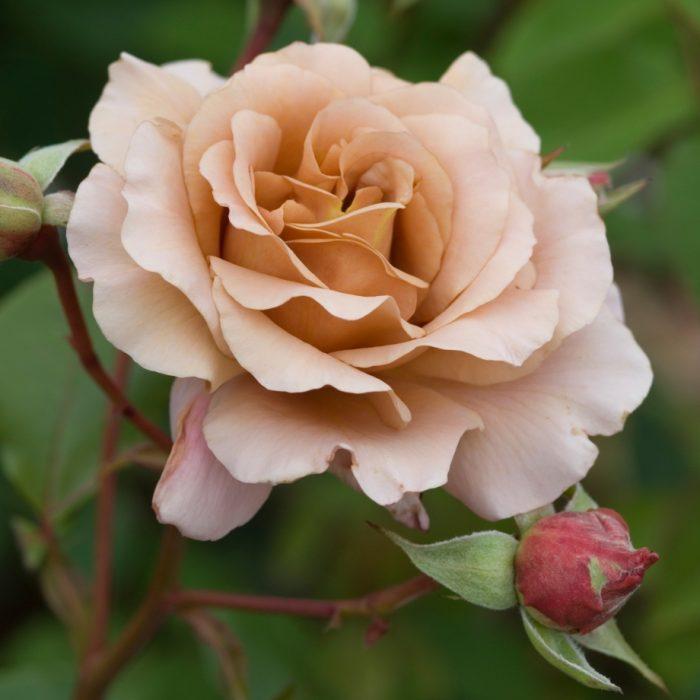 Роза Julia's Rose
