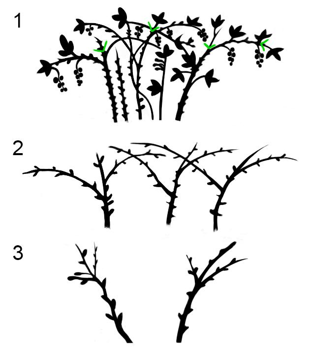 Обрезка чёрной малины: 1 - Прищипывание летом верхушек растущих побегов; 2 - Вид побегов после сбора ягод и удаление одногодичных побегов; 3 - Вид побегов ранней весной.