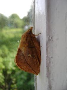 Бабочка самки коконопряда травяного.