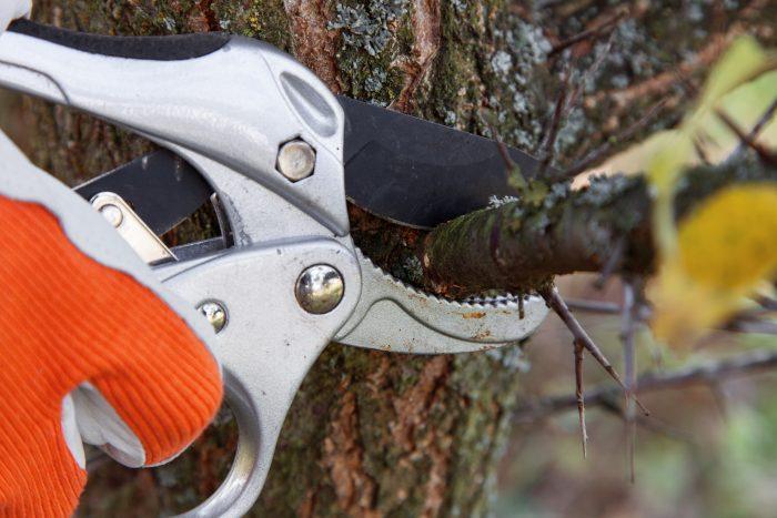 При обрезке деревьев под кольцо пеньков не оставляют