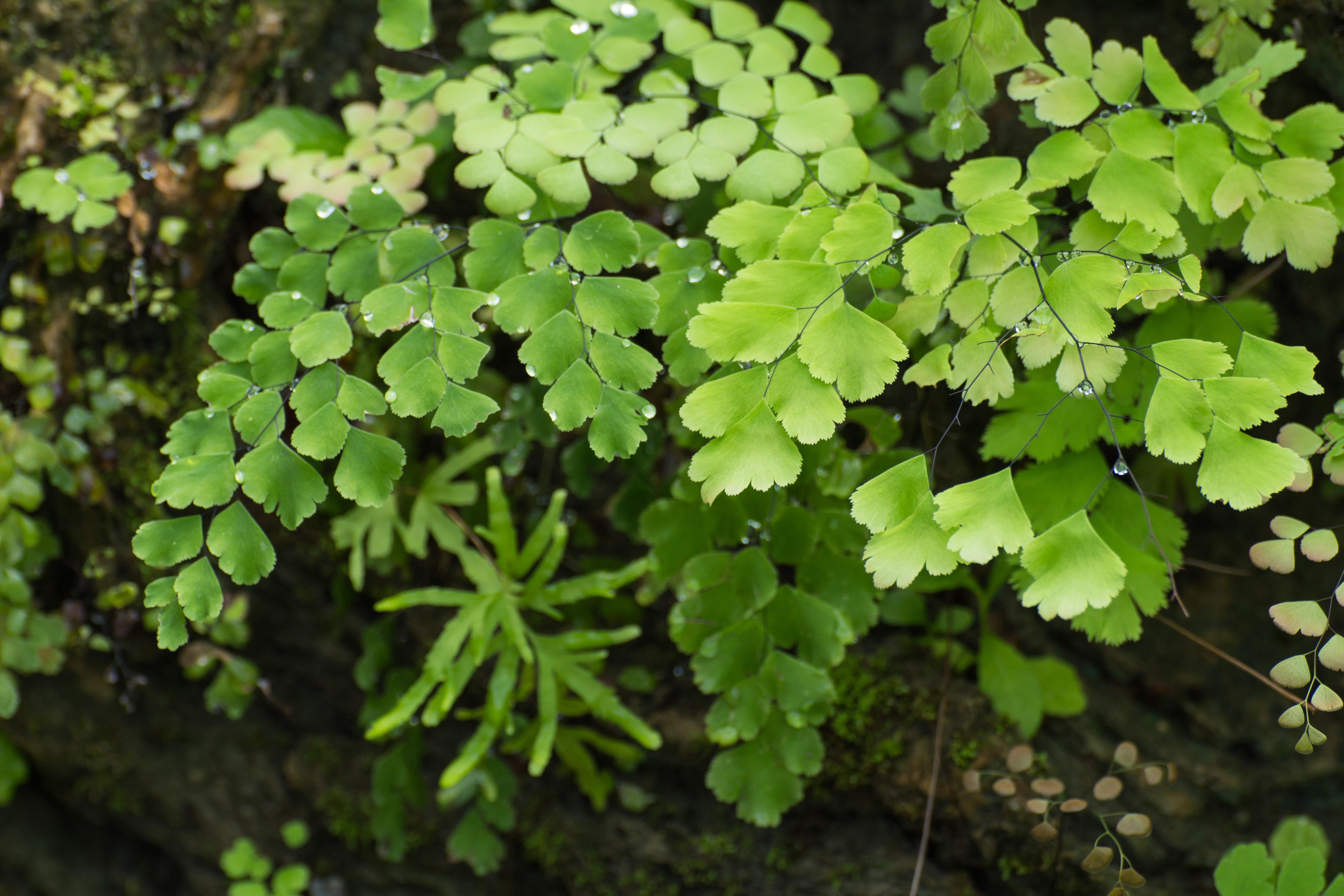 Листья адиантума обладают свойством отталкивать воду