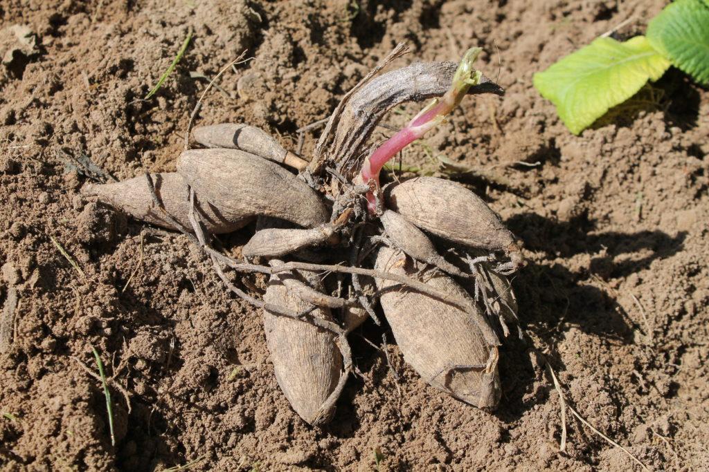 Середина месяца - самое время для посадки клубневых и луковичных растений
