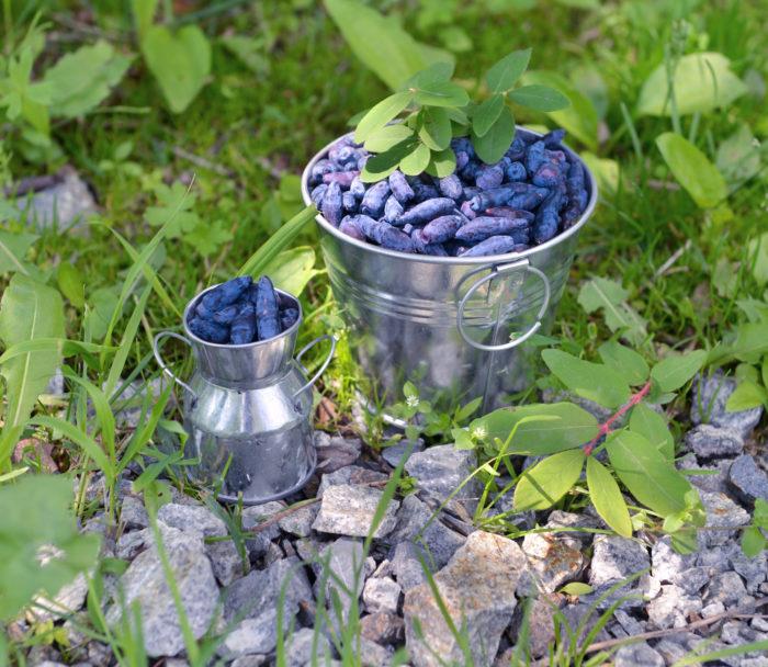 Жимолость - диетические ягоды