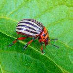 Есть много способов как избавиться от колорадского жука