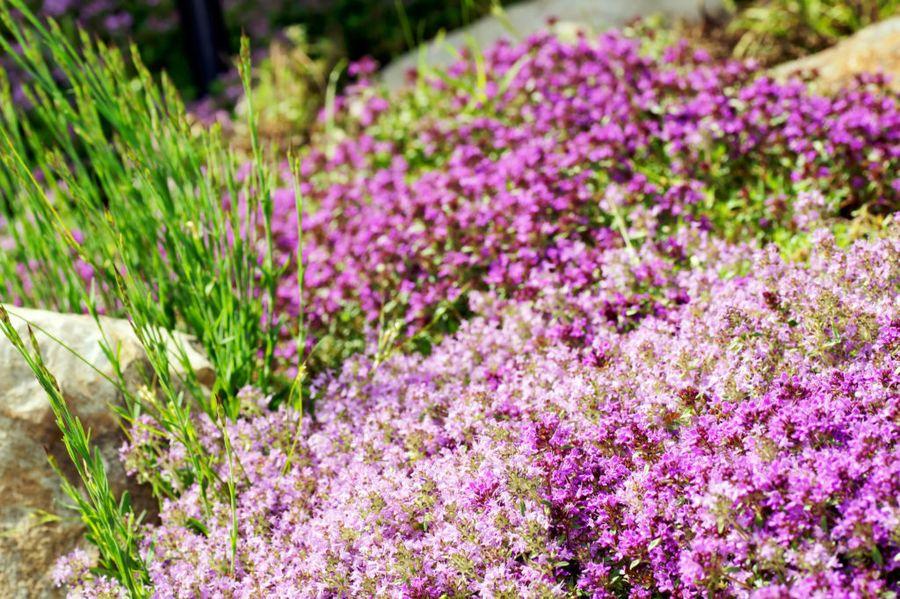 Чабрец - лечебное растение