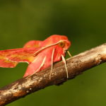 Бабочка винного бражника среднего