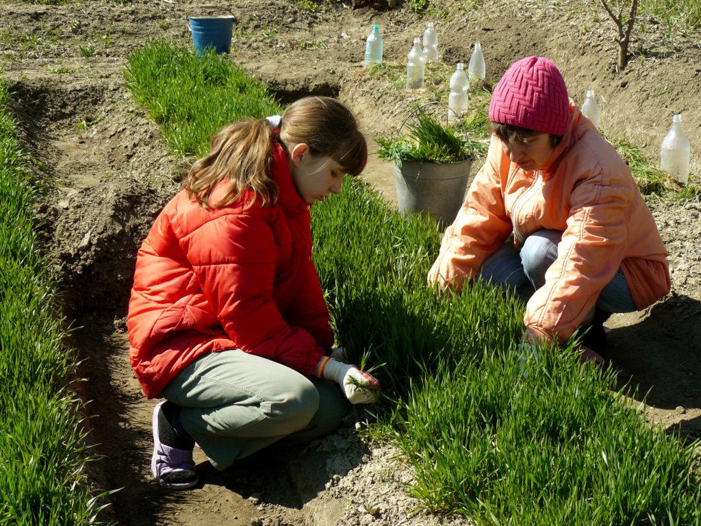К концу апреля при определённом температурном режиме всходят сидераты, начинают высаживать холодостойкие культуры