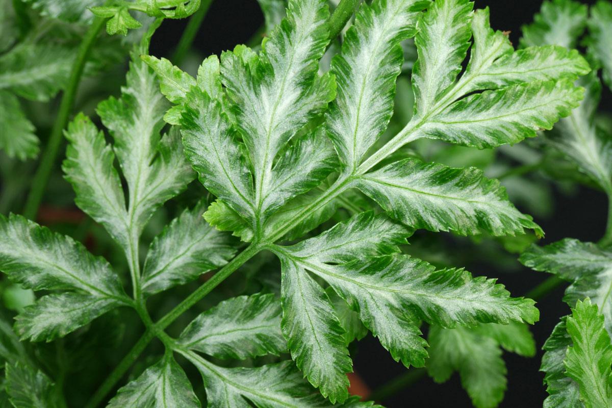 Птерис мечевидный привлекает к себе внимание не только необычной формой листьев, но и серебристой окантовкой на них