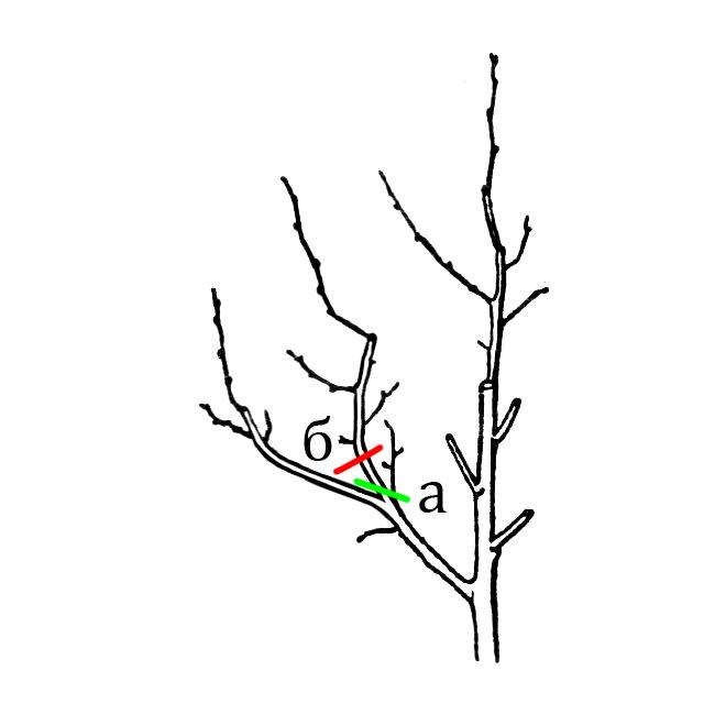 Схема № 3 Укорачивание ветви. Правильно: а - спиливают над одним из удобно размещённых вв кроне боковых ответвлений. Неправильно: б - над срезом оставлен пенёк