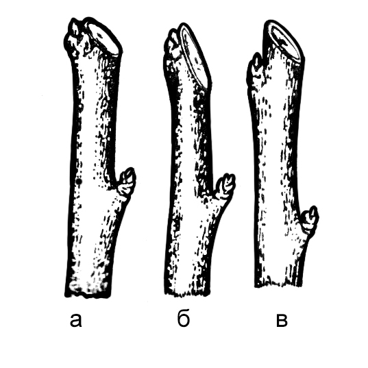 Схема среза ветвей над почкой. Правильно: а - нижняя часть среза на уровне основания почки, верхняя у её верхушки.Неправильно: б - срез очень низкий, почка может подсохнуть; в - оставлен пенёк, препятствующий зарастанию раны.