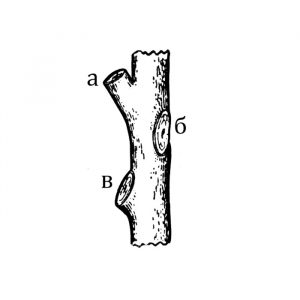 """Схема 2. Срезка ветви """"на кольцо"""". Правильно: а - спиливают над одним из удобно размещённых в кроне боковых ответвлений. Неправильно: б - над срезом оставлен пенёк."""