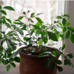 Слава и могущество этого растения были известны великому Чингисхану