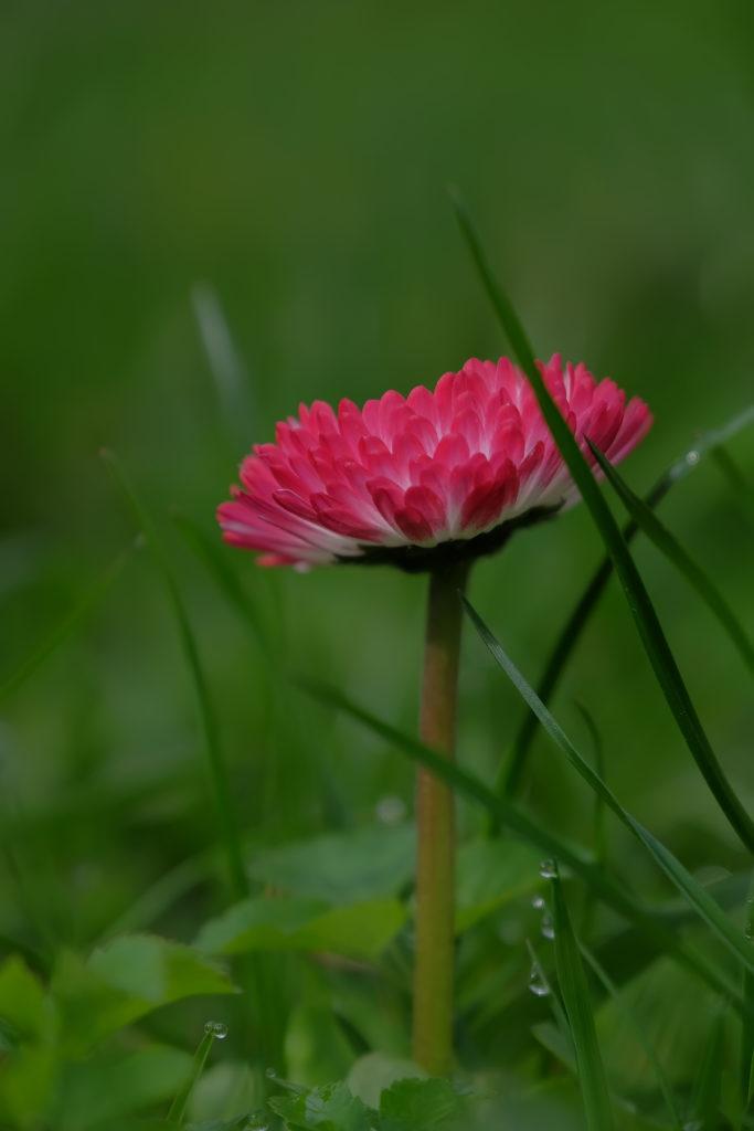 Если у цветка маргаритки цветочные венчики поникают - к ненастной погоде