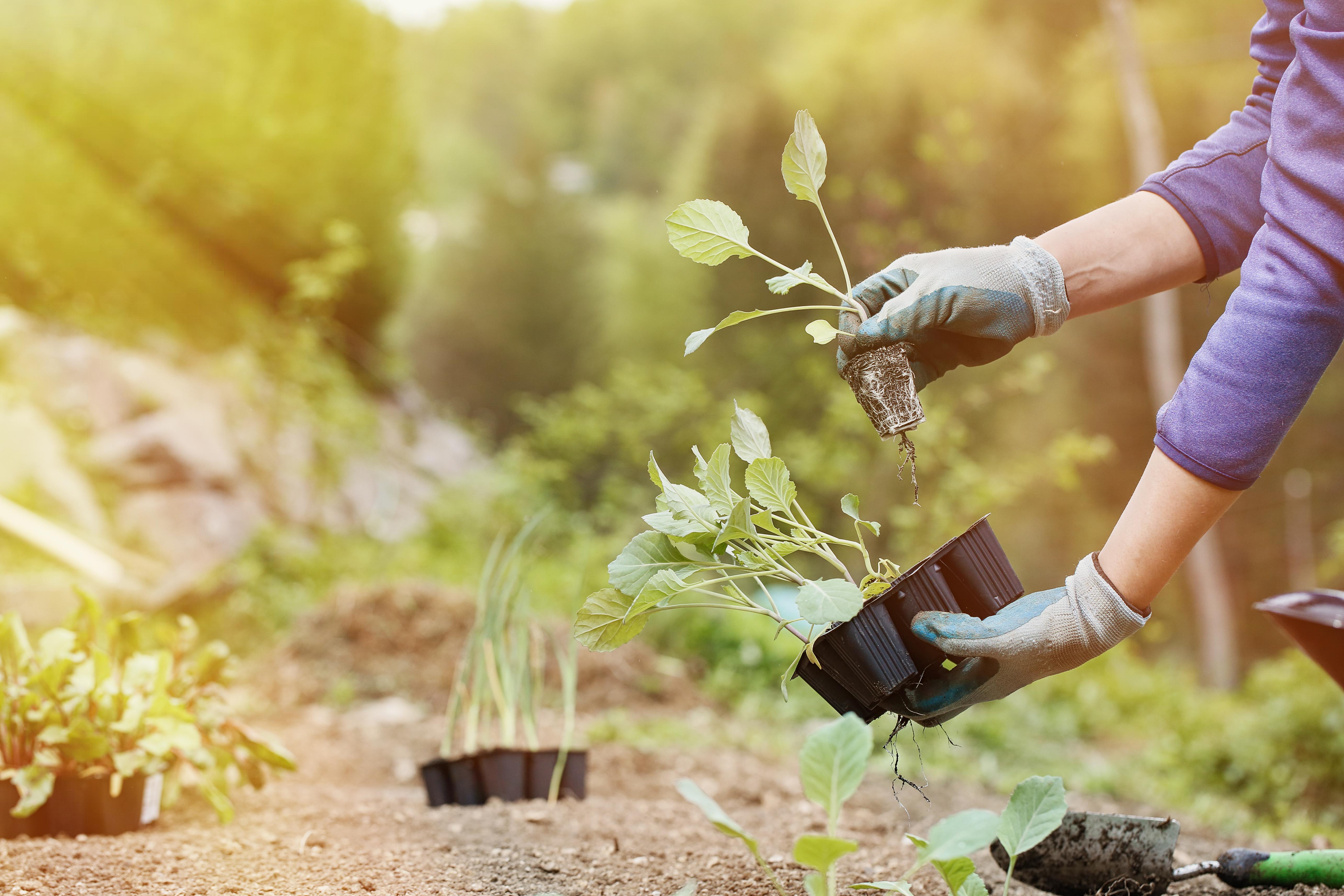 Во второй половине мая рассады многих растений можно смело высаживать в открытый грунт