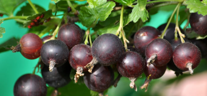 Сочетание двух вкусов в одной ягоде гибрида йошты придают плодам неповторимый аромат