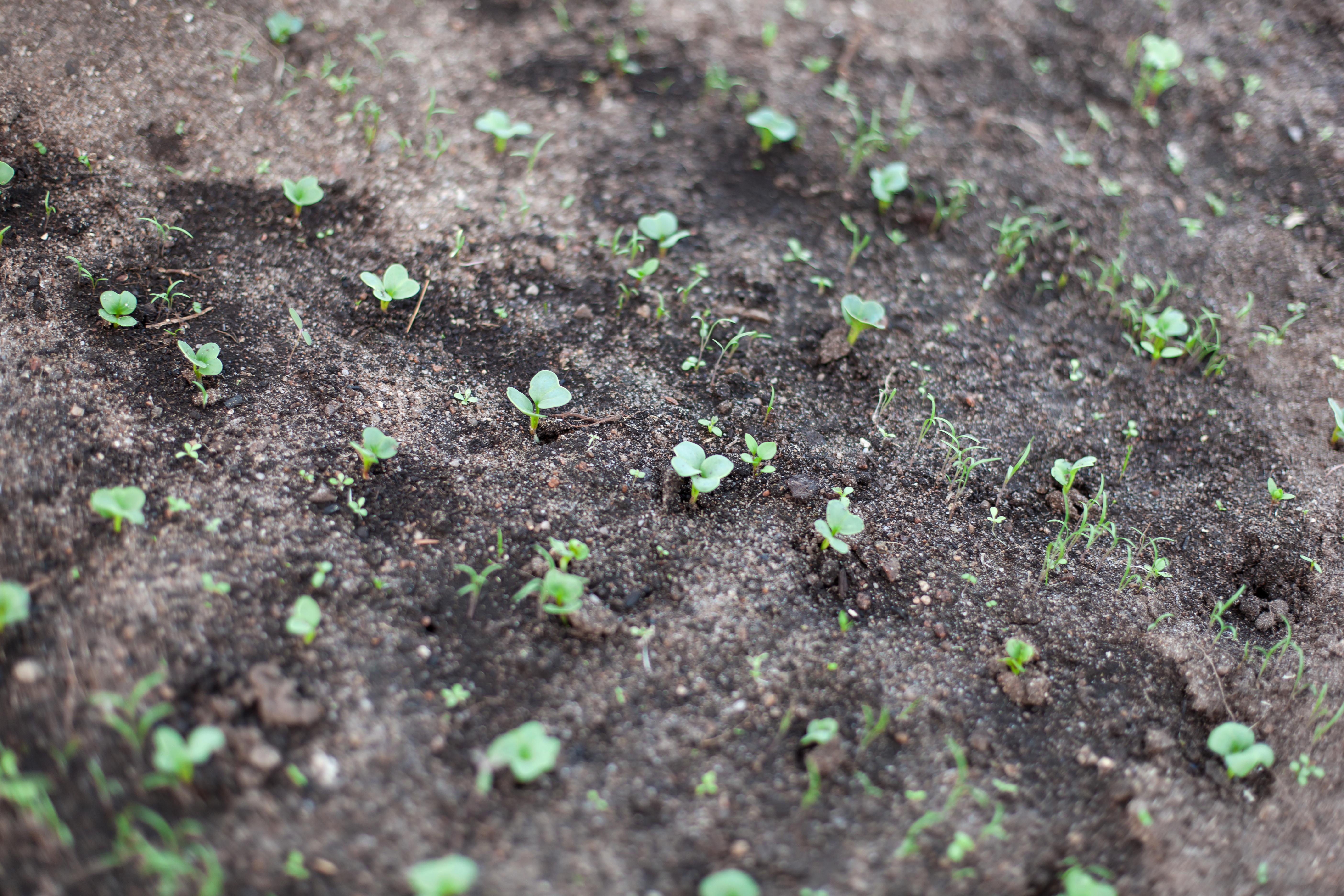 Первые ростки необходимо охранять от заморозков, птиц и вредителей