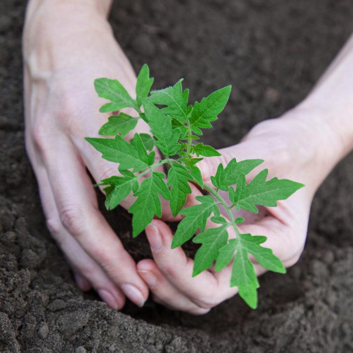 Здоровая рассада - это 75% урожайного сезона томатов
