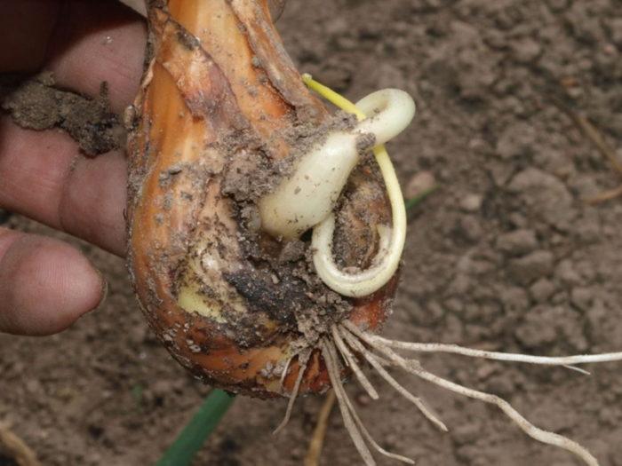 Луковая стеблевая нематода - вредоносна при сильных осадках и повышенной влажности почвы.