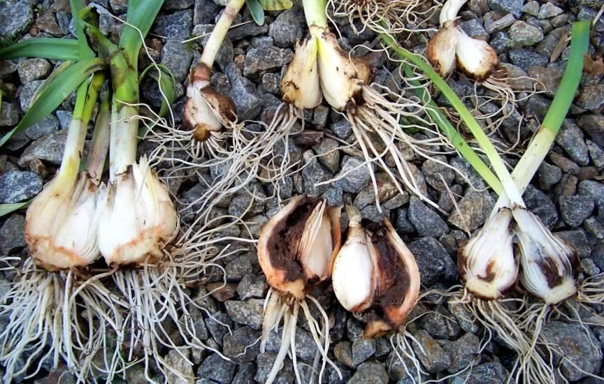 Надёжным средством по спасению лука от луковой мухи является полив лука солёной водой