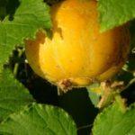 Огурец-лимон - вкусный и экзотический овощ
