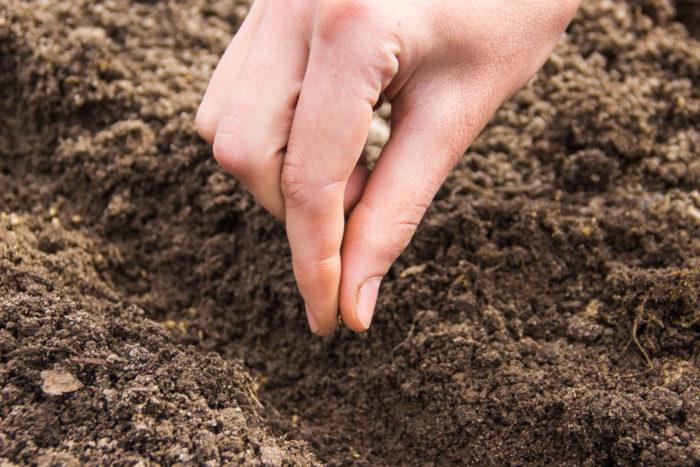 Дайкон влаголюбив и имеет особое отношение к почвам