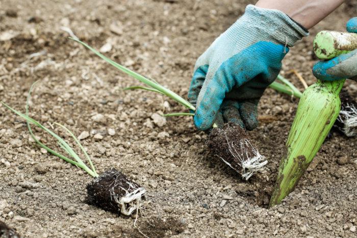 Лук-порей имеет длительный период вегетации