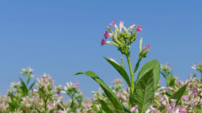 Табак обыкновенный надёжный помощник в борьбе с вредителями огорода