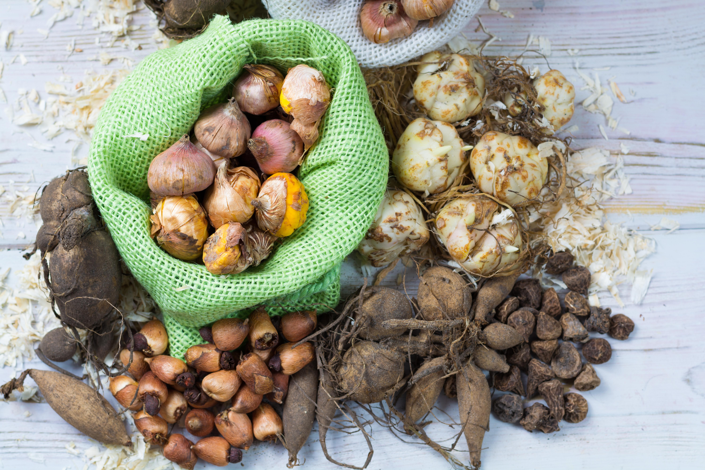 В июне необходимо выкопать луковицы отцветших весенних растений, иначе семенной материал углубиться дальше в землю и измельчает