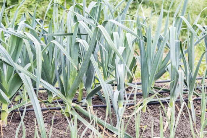 Лук порей особенности выращивания и ухода